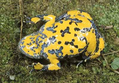 Yellow-bellied Toad - adult showing belly colour