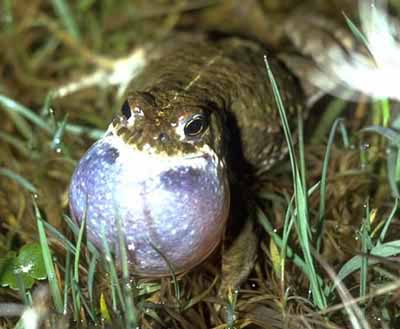 Natterjack Toad - male calling