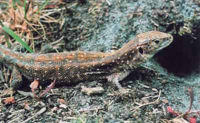 Sand Lizard - female