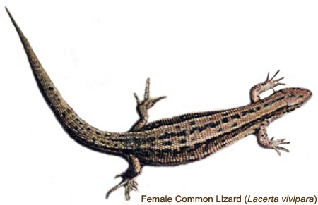 common or viviparous lizard