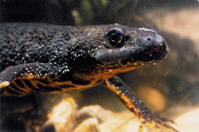 great crested newt GCN