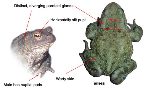 Common Toad - identification features