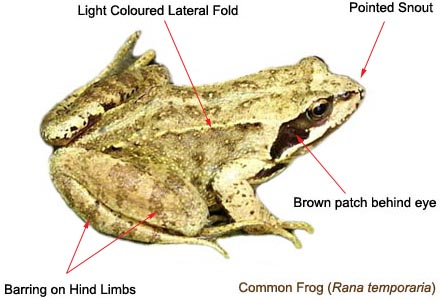 Common Frog identification features