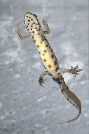 Common Newt - underside